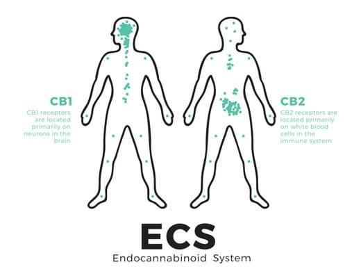 The ECS Diagram with Human Body CB1 and CB2